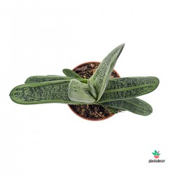 Gasteria Little Warty
