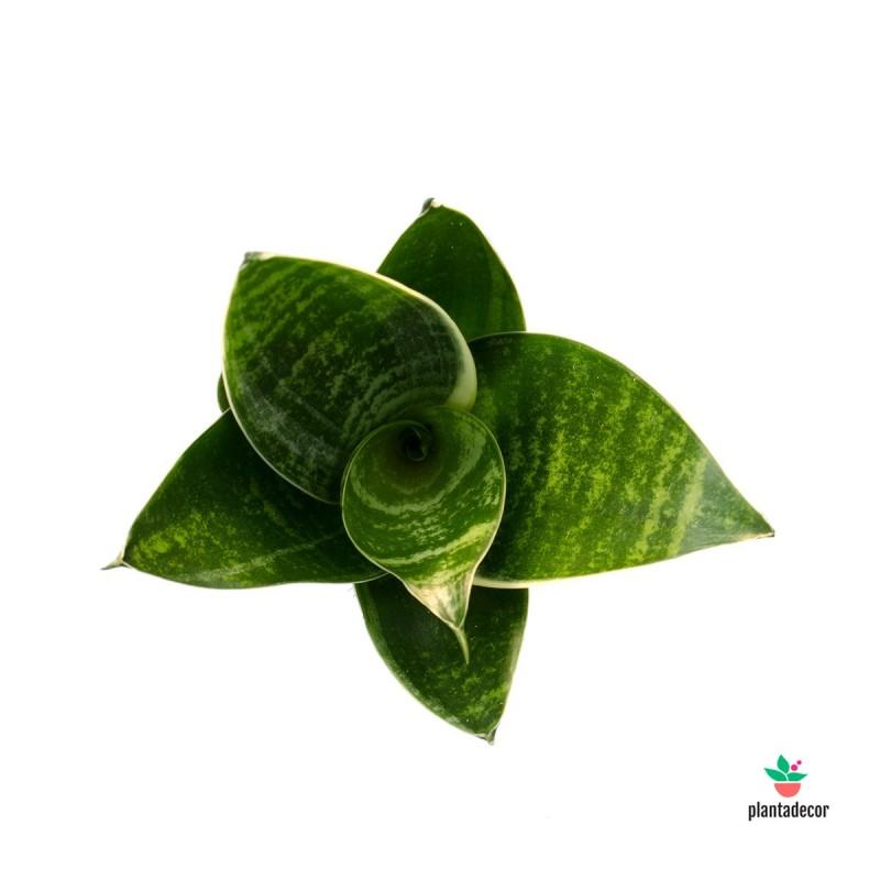 "Sanseviera Trifasciata ""Hahnni"" Green Star"