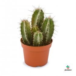 Ritterocereus Pruinosus Urbaneus