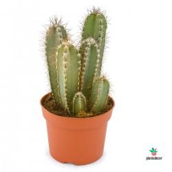 Cactus Cereus Forbesii