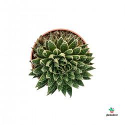Aloe Aristata planta antorcha