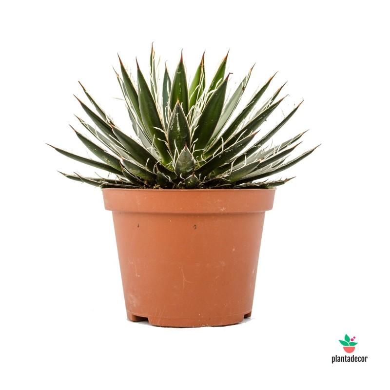 Planta Agave Filifera