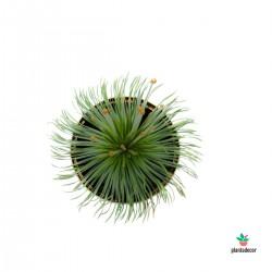 Planta de Synchonantus Mikado