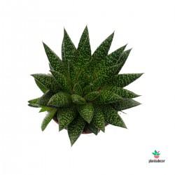 Planta Gasteria D Due