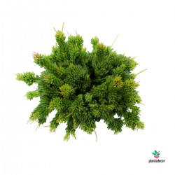 Planta Rhipsalis Mesembry Anthemoides