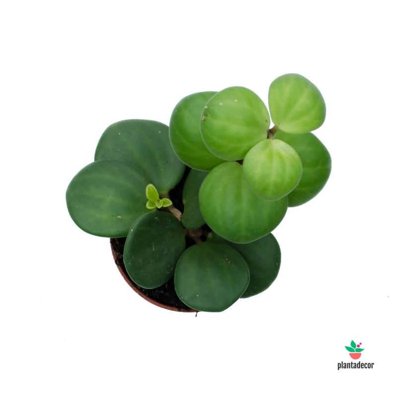 Planta Peperomia Tetraphylla Hope