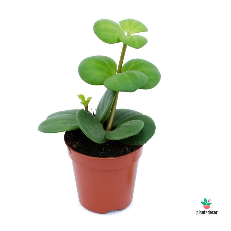 Peperomia Tetraphylla Hope