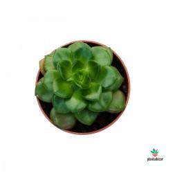 Planta Echeveria Multicaulis