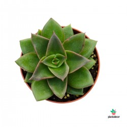 Echeveria Mexicana Mini
