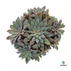 Planta Echeveria Rusbyl