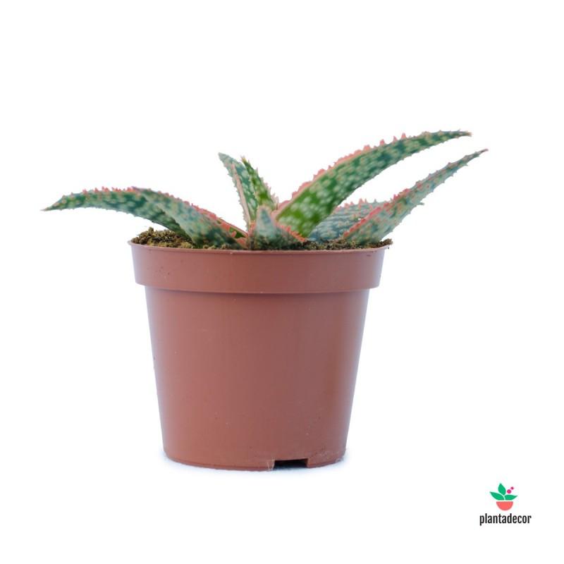 Aloe Red Shade
