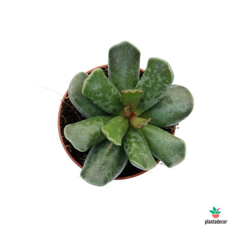 Planta Adromischus Cooperii