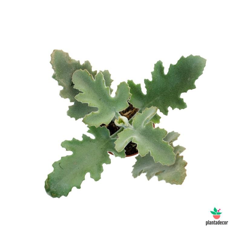 Kalanchoe NF Beharensis Mini