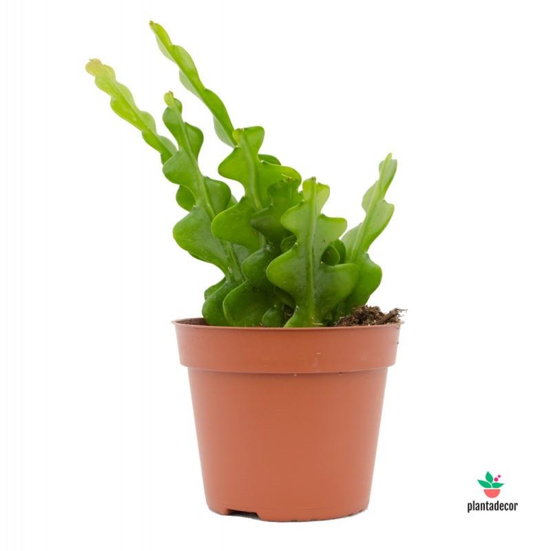 Epiphyllum Anguliger Plantadecor
