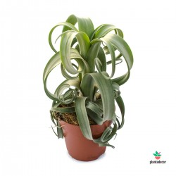 Tillandsia Curly Viveros Plantadecor