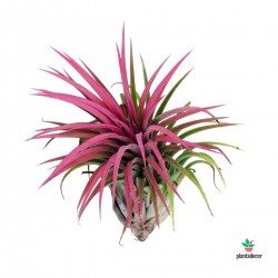 Tillandsia Ionantha Red