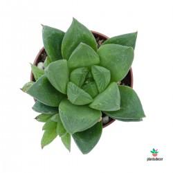Haworthia Reticulata