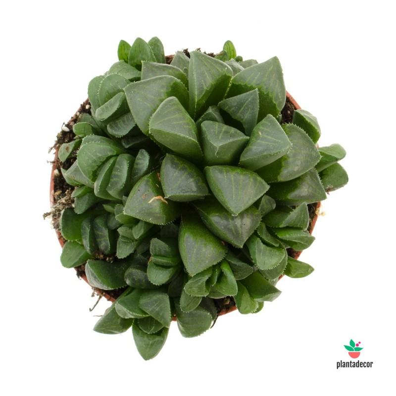Suculenta Haworthia Retusa