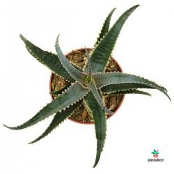 Aloe Acuelata