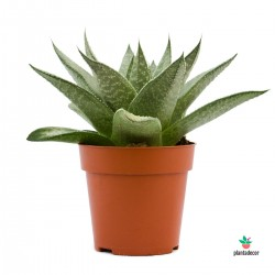 Aloe Wonder en maceta