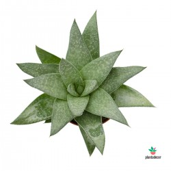 Planta Gasteraloe Wonder