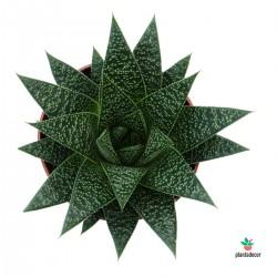Planta de Aloe Flow