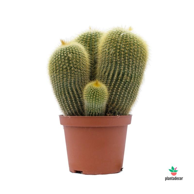 Eriocactus leninghausii Comprar