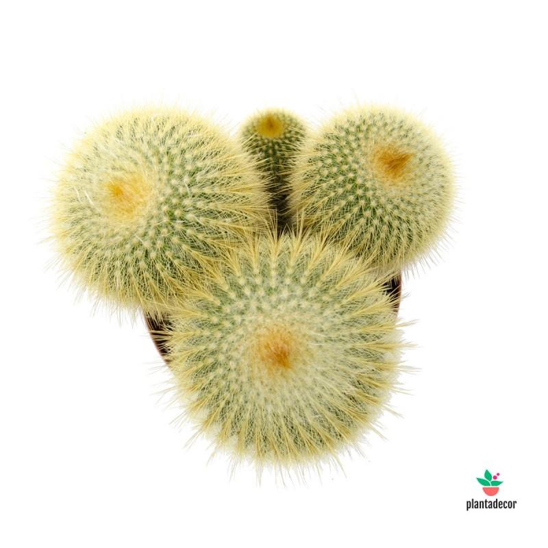 Eriocactus leninghausii | Plantadecor
