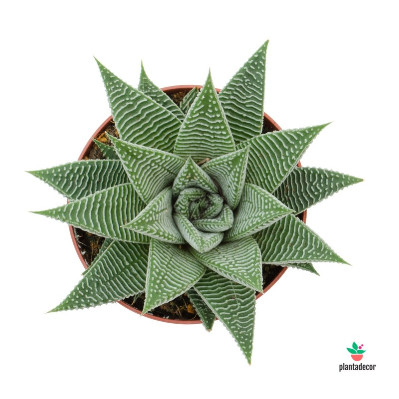 Haworthia White Spider