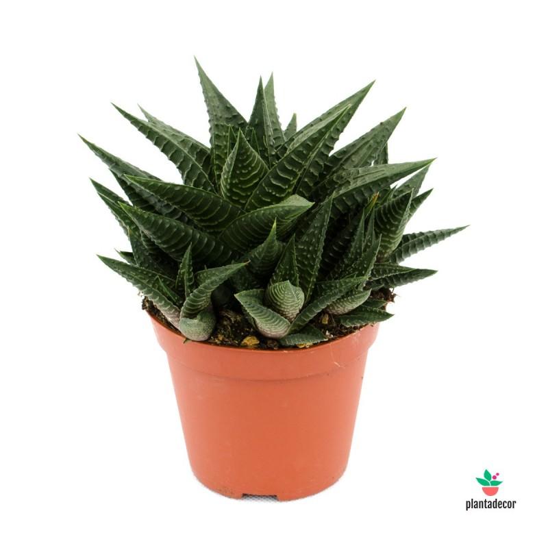 Haworthia Limifolia Piel de Cocodrilo