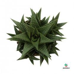 Planta Piel de Cocodrilo