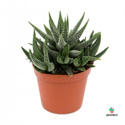 Haworthia variedad Margaritifera