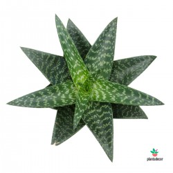 Aloe Tikizila Plantadecor