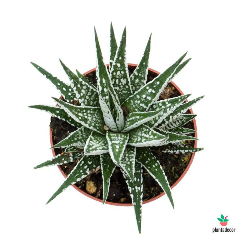 Haworthia Fasciata var. Alba