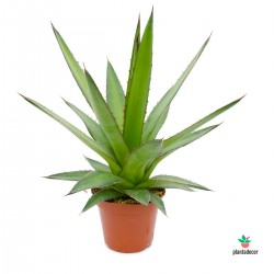 Planta Agave Kerchovei