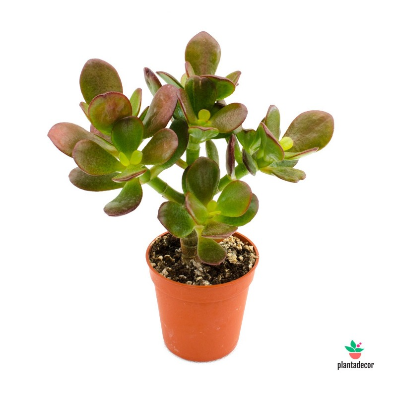 Crassula Minor Plantadecor