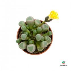 Planta Fenestraria Ropalophylla