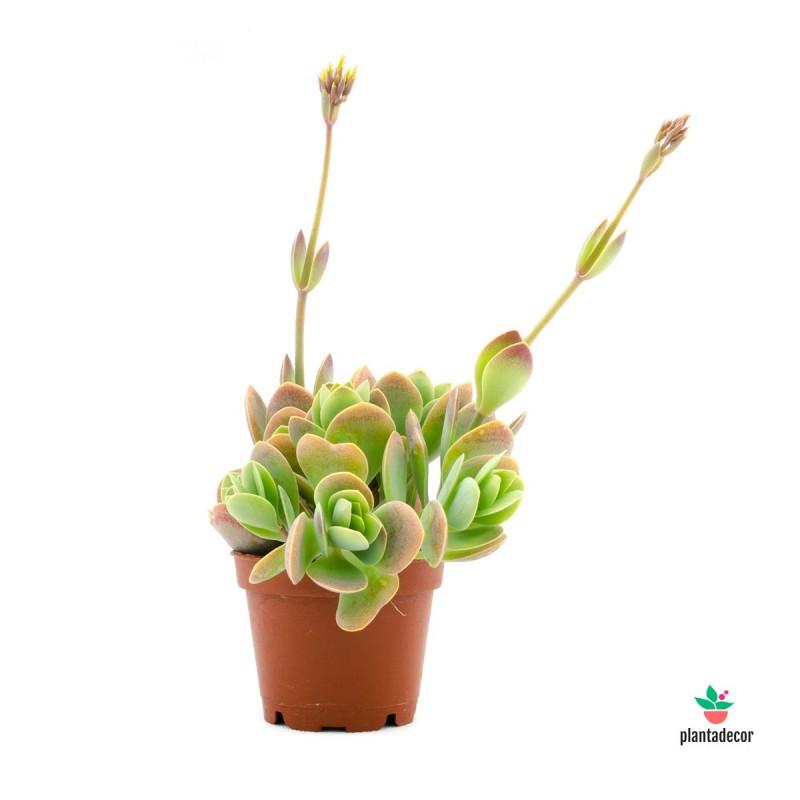 Kalanchoe NF Rotundifolia