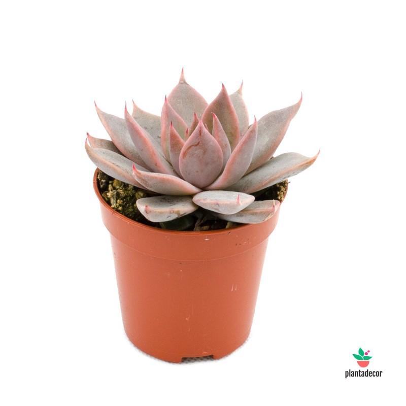 Planta Suculenta Echeveri Elegans