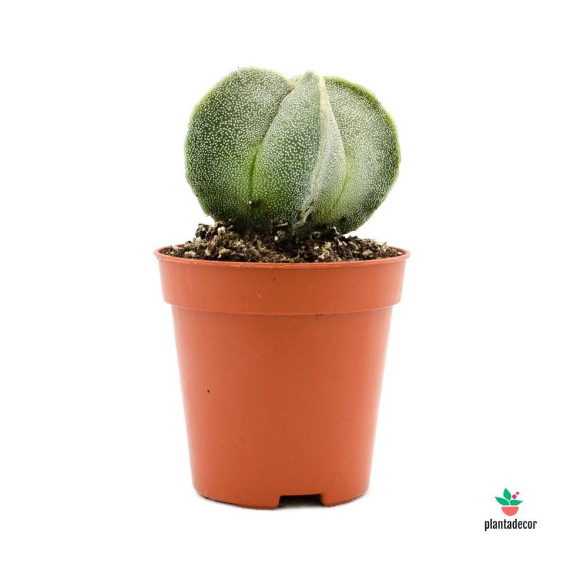 cactus Astrophytum Myoristigma
