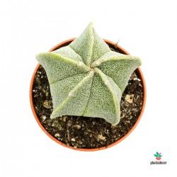Astrophytum Myoristigma