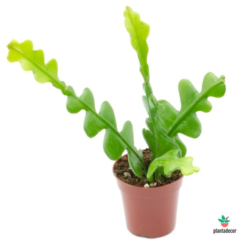 Planta Epiphyllum Anguliger