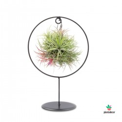 Tillandsia Ionanta red en soporte decorativo