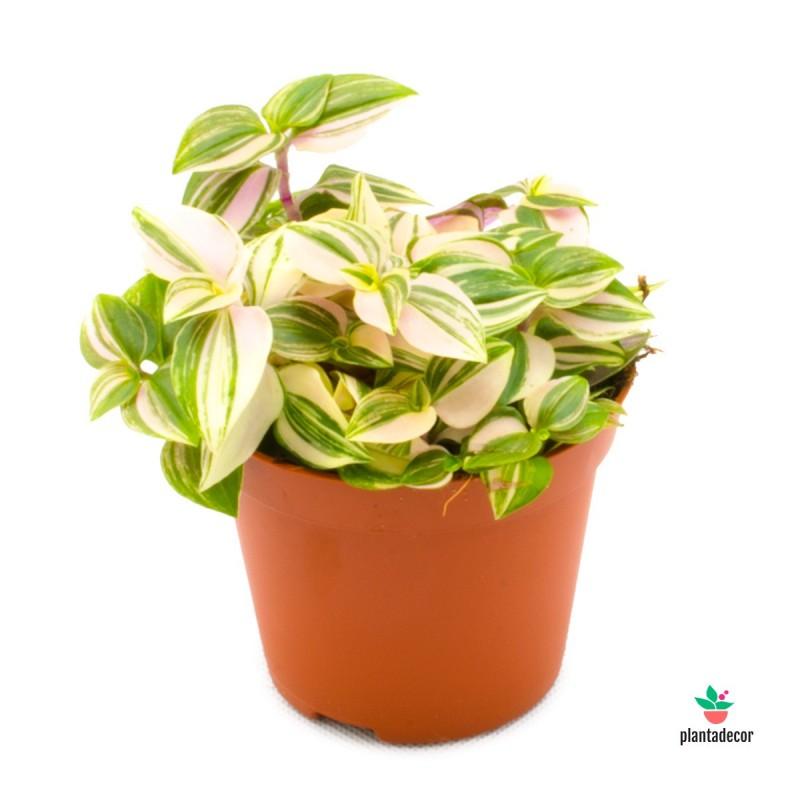 Planta Tradescantia Fluminensis Quadricolor