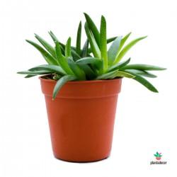 Planta Bergeranthus Jamesi