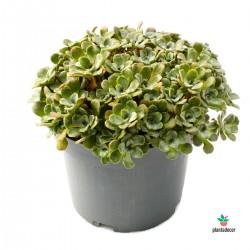 Sedum Spathuifolium