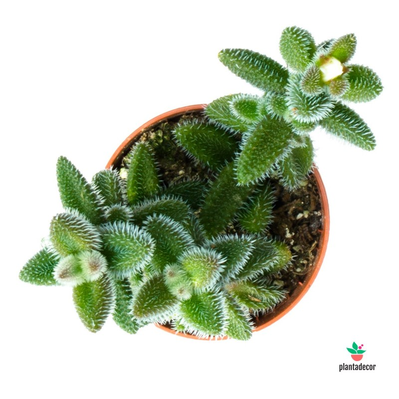 Planta Pruinosum
