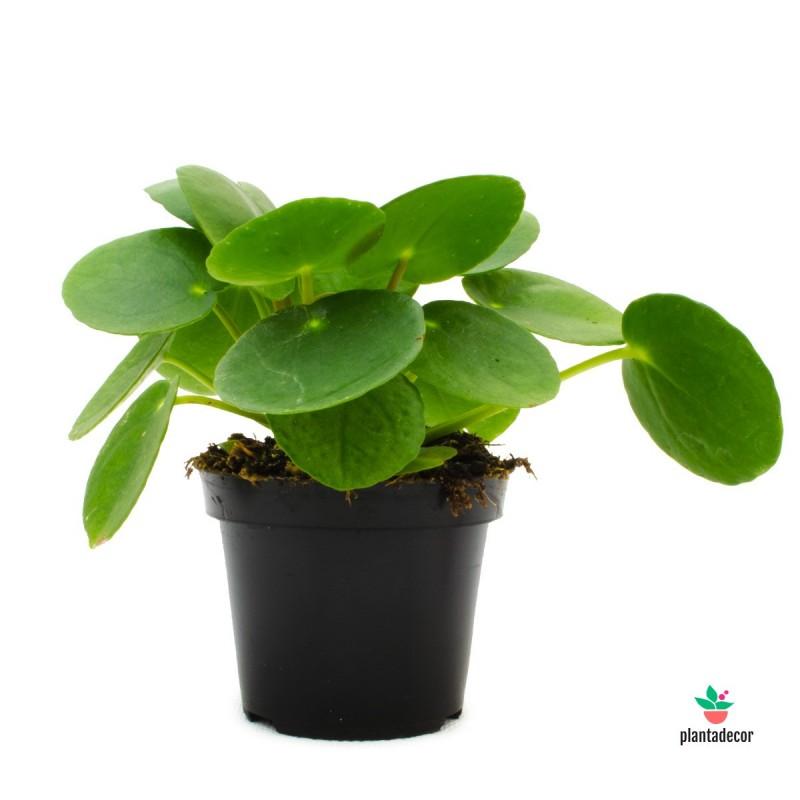 Planta colgante Pilea Peperomioides