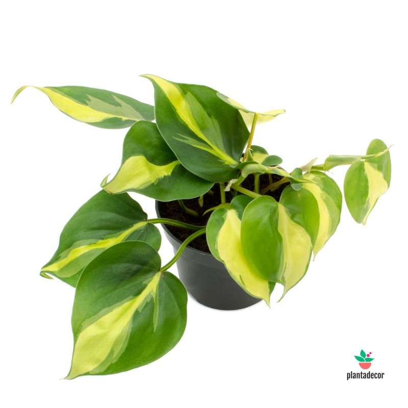Planta Philodendron Scandens