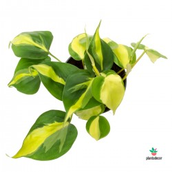 Philodendron Scandens Plantadecor